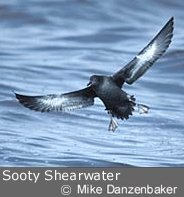 Sooty Shearwater by Mike Danzenbaker