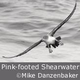 Pink-footed Shearwater by Mike Danzenbaker