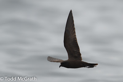 Black Storm Petrel © Todd McGrath 2012