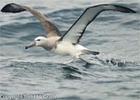 Salvin's Albatross ©  Todd McGrath 2014
