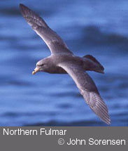 Northern Fulmar copyright John Sorenson