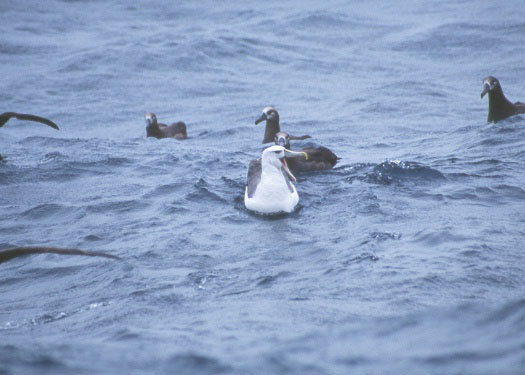SHEARWATER JOURNEYS Shy ALBATROSS