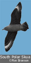 South Polar Skua by Ron Branson